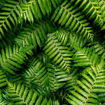 Close up of green native ferns overlapping each other.