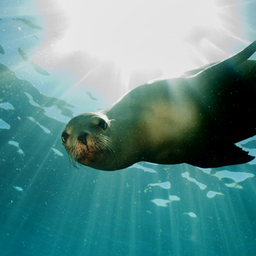A seal swimming underwater looking directly at the camera.