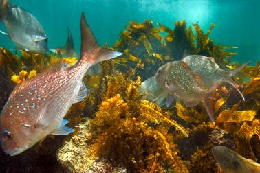 Underwater sea landscape featuring snapper swimming in a kelp forest