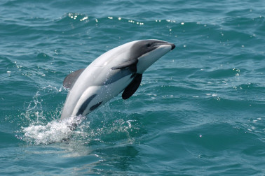 Maui dolphin jumping out of the sea