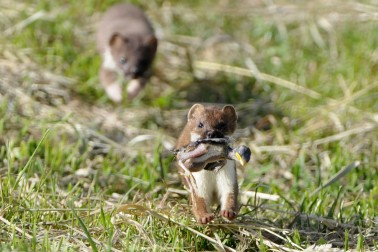 A stoat carries a dead baby bird in its mouth