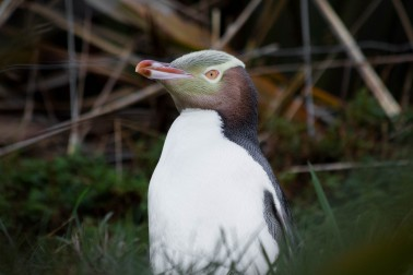 A yellow-eyed penguin (hoiho)