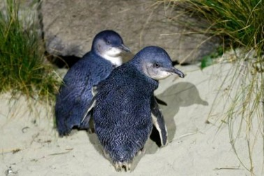 Little penguins at Caroline Bay