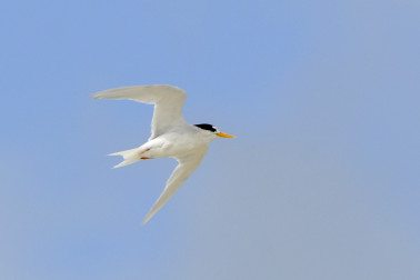 A fairy tern in flight