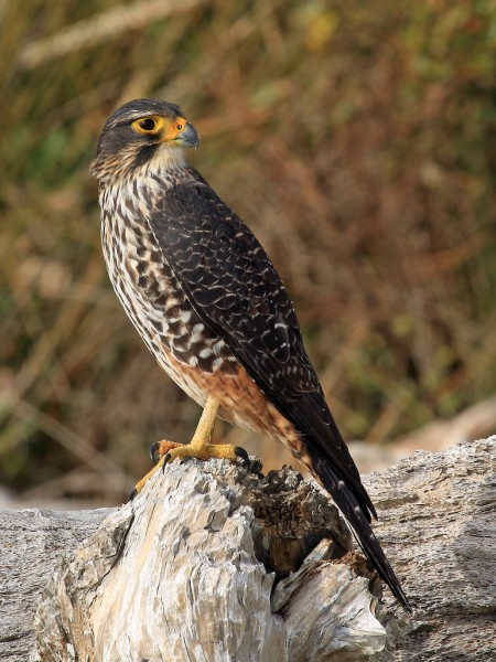 A New Zealand falcon sitting on a rock