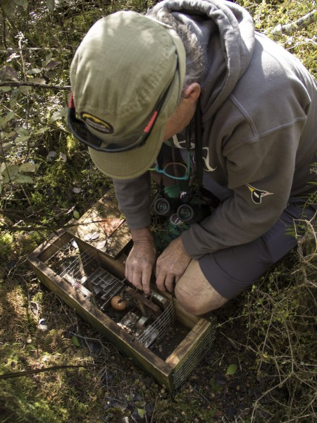 Forest & Bird Volunteer sets a trap in Makarora