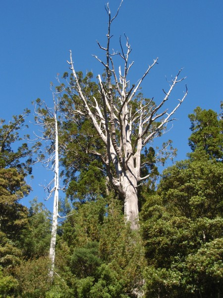 Dead Kauri tree branches