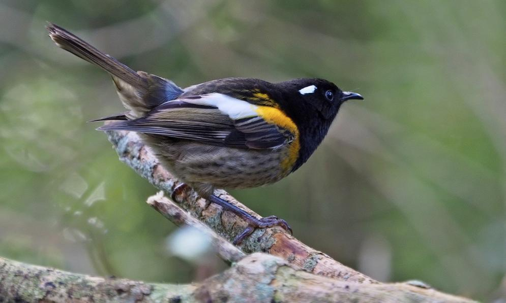 Male Hihi (Stitchbird) sitting on the branch of a tree