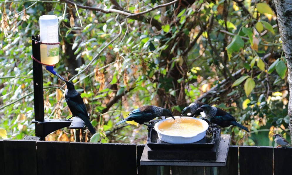 Three tui feeding on sugar water in a bottle and a dish