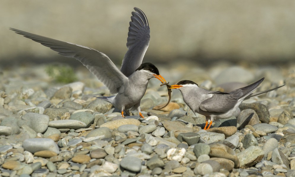 Two black fronted tern fight over a lizard
