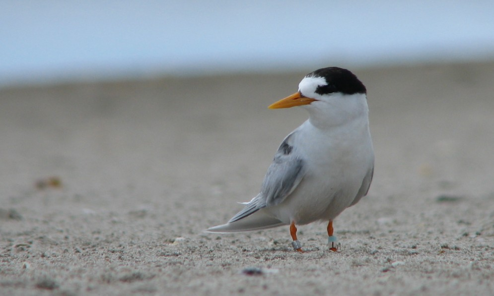 A single fairy tern stands on a beach in Northland