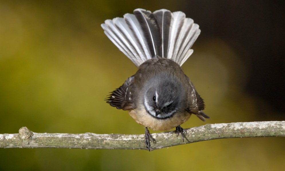 Fantail sitting on a branch with its tail fanned out