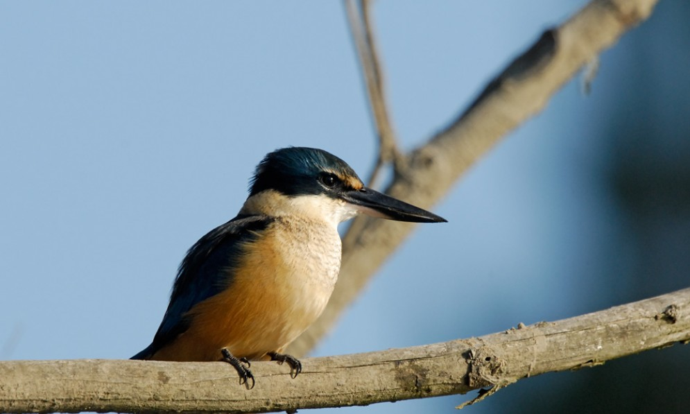 A kingfisher sitting on a branch