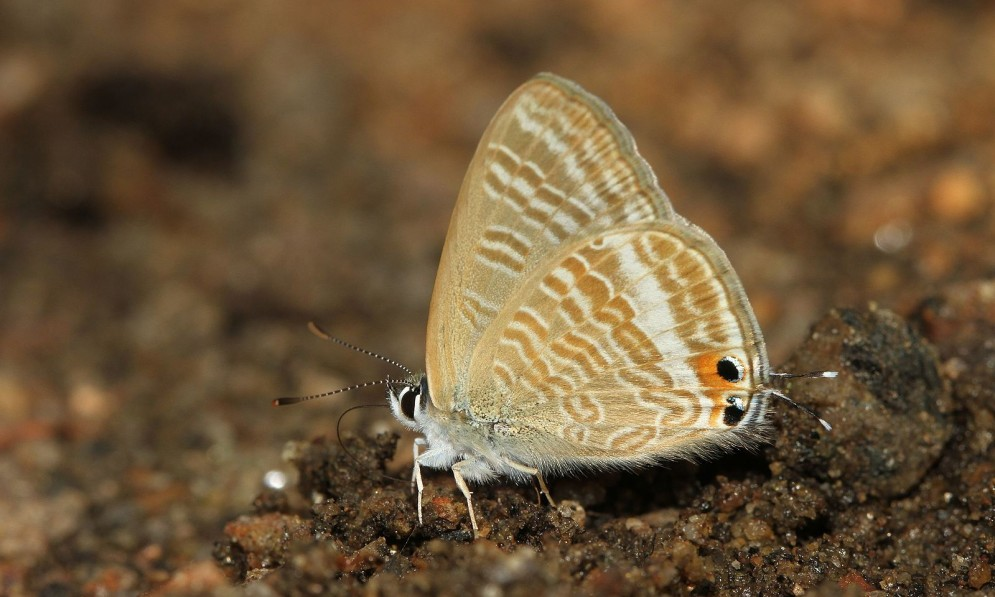 Long-tailed pea blue butterfly