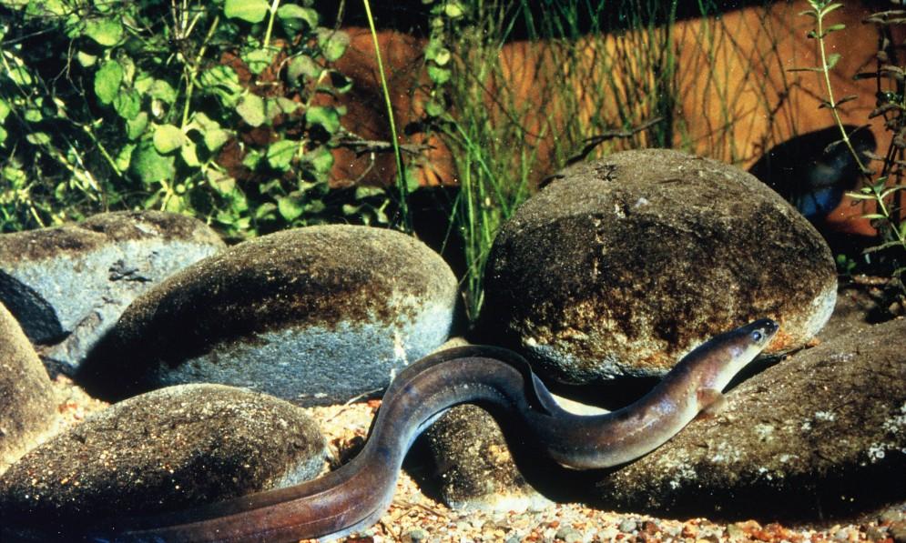 Longfin Eel