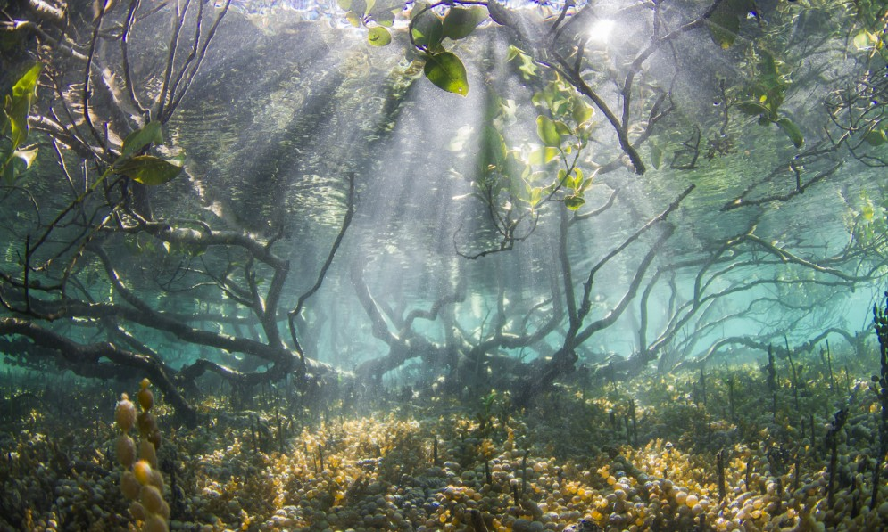 Mangrove roots under water