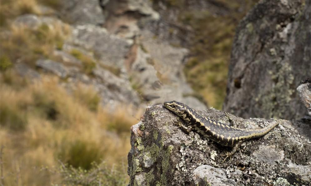 otago skink - Garden Lizard