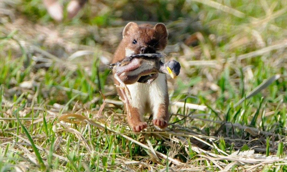 Stoat with chick in mouth