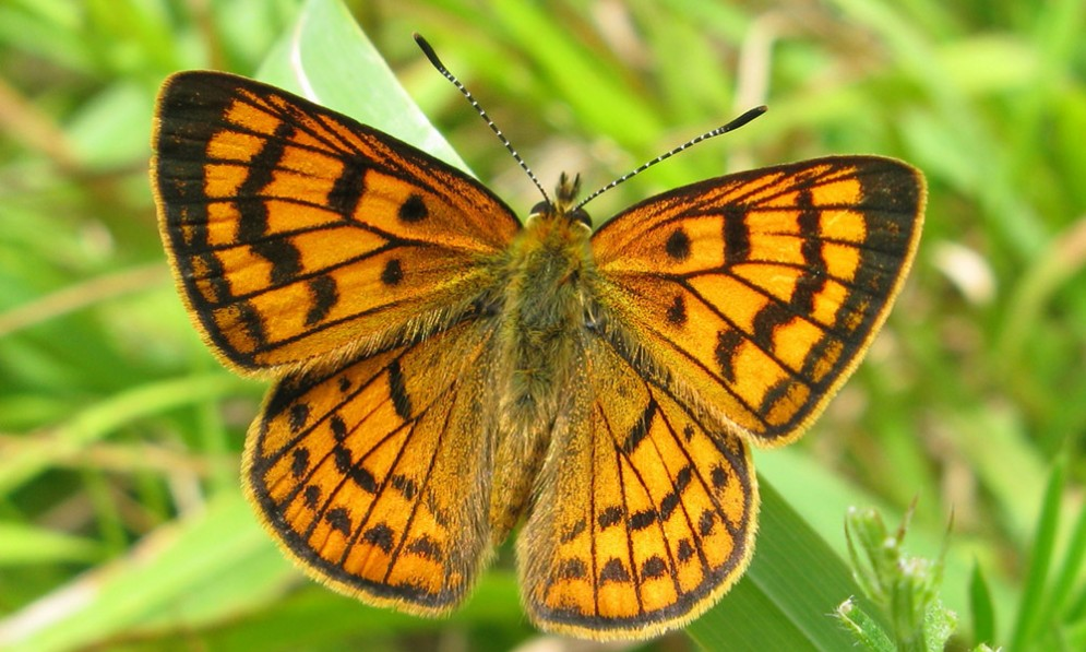 Rauparaha's copper butterfly with wings open