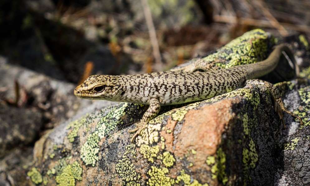 A scree skink basks in the sun on a rock
