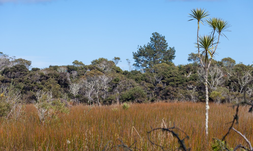 Arethusa Reserve showing native raupō and cabbage tree