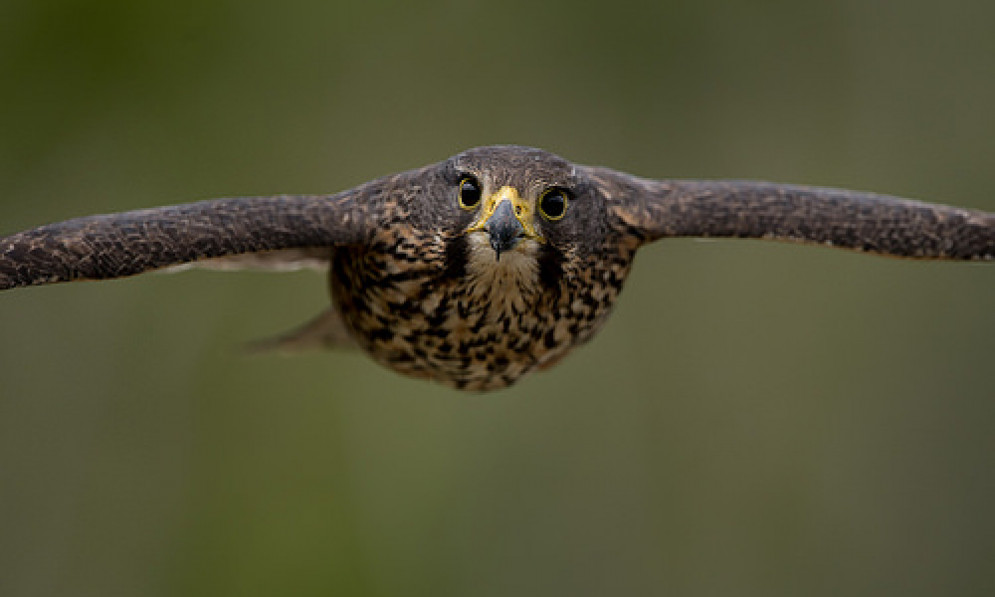 New Zealand falcon, Credit: Craig McKenzie