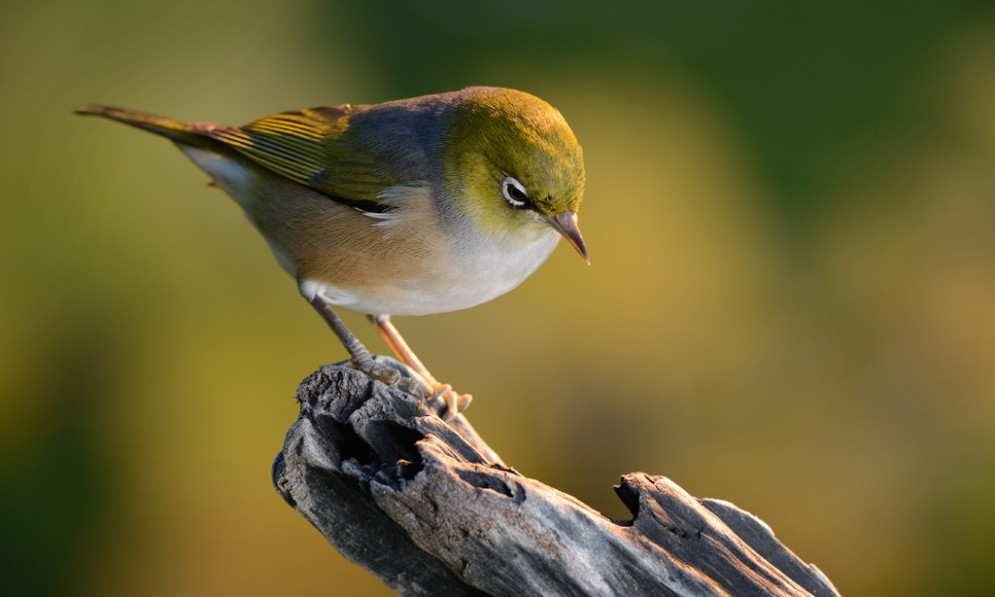 Silvereye sitting on log