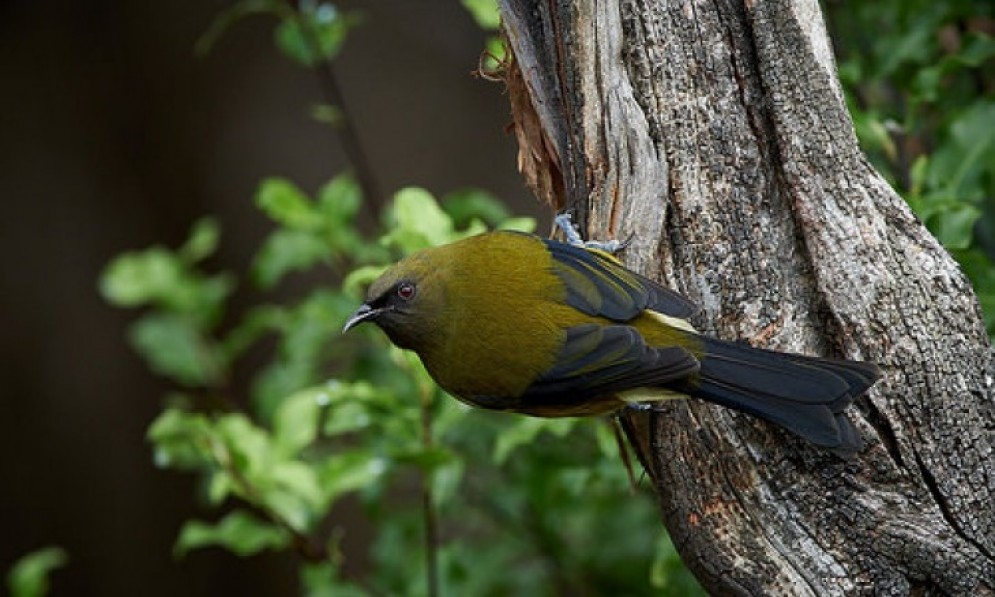 A bellbird sitting on a branch
