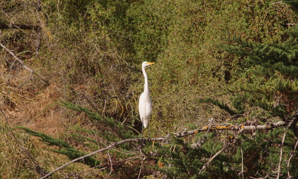 White Heron on branch with boxthorn weeds in background