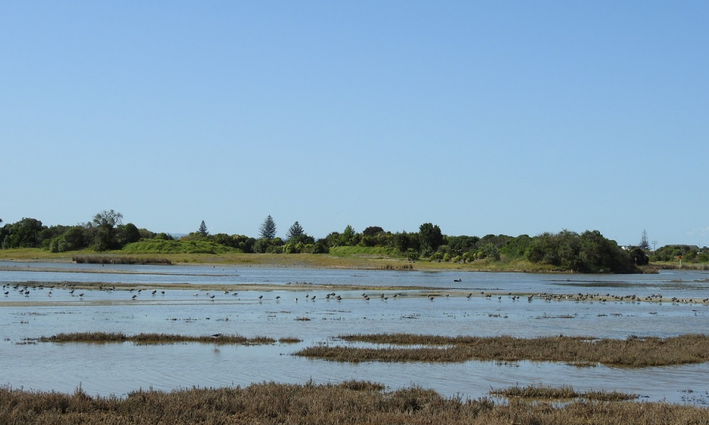 A flock of bar-tailed godwit (kuaka) in Napier shore
