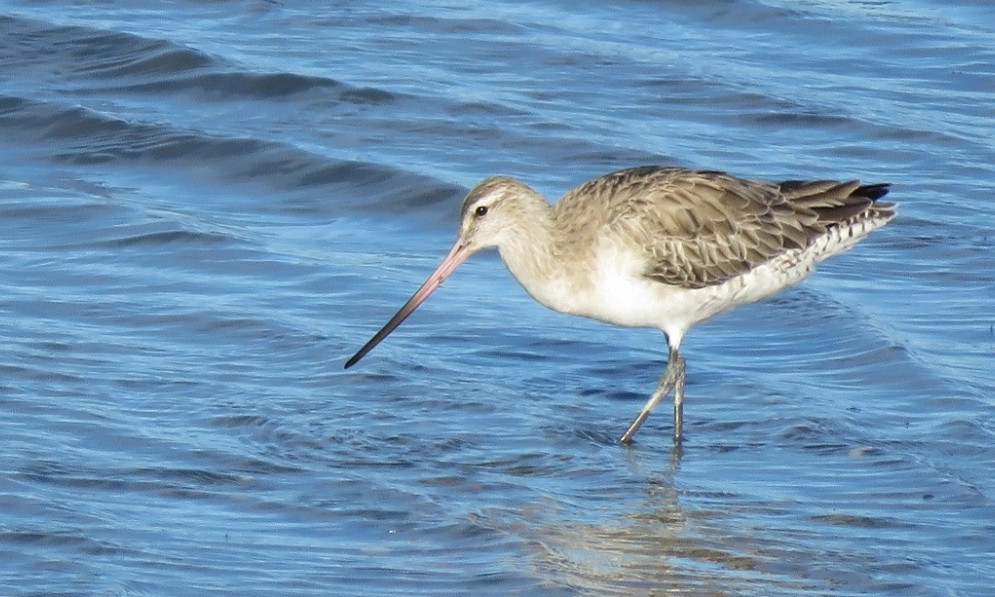 A bar-tailed godwit (kuaka) wading in shallow water in Napier