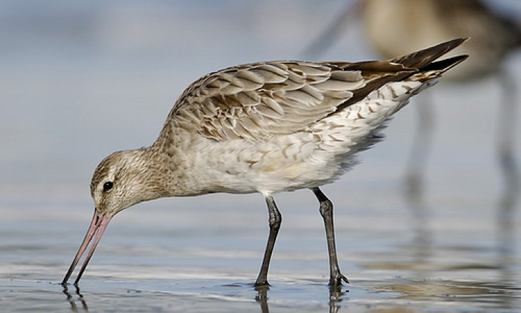 Bar-Tailed Godwit by Craig Mckenzie