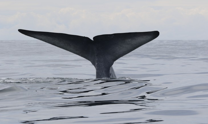 A blue whale shows its fluke as it dives