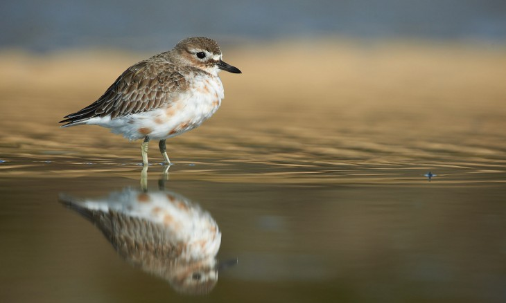 New Zealand dotterel standing in river
