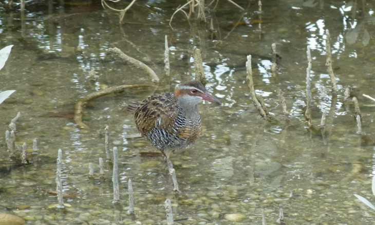 Banded rail in wetland