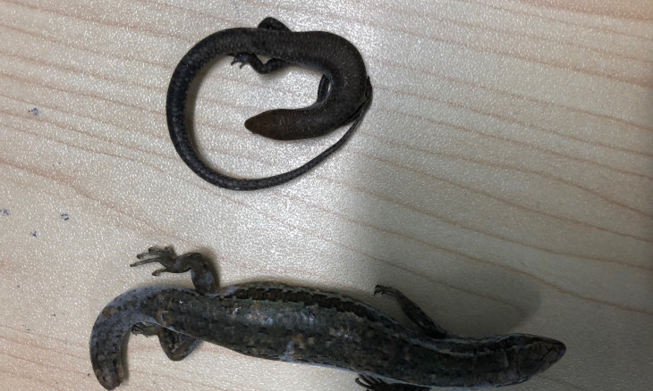 Native Skink (below) and Plague Skink (top)