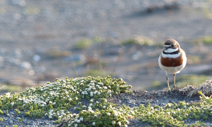 Banded dotterel/pohowera standing on a small mound on the beach
