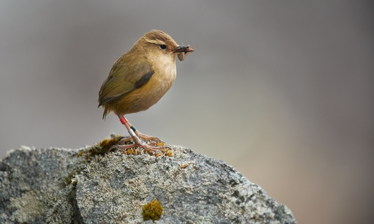 Rock wren sitting on a rock eating a bug