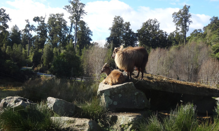 Tahr at Bushman Centre in Pukekura