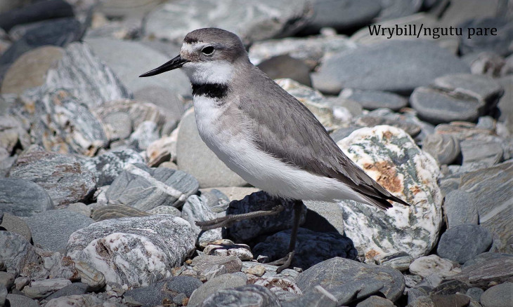 A wrybill stands on a braided river
