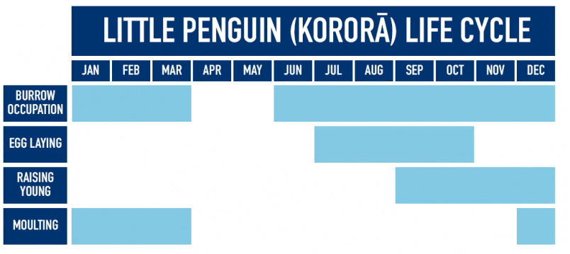 Table showing little penguin life cycle
