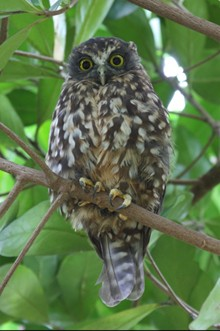 Morepork. Photo: Jordan Kappelly