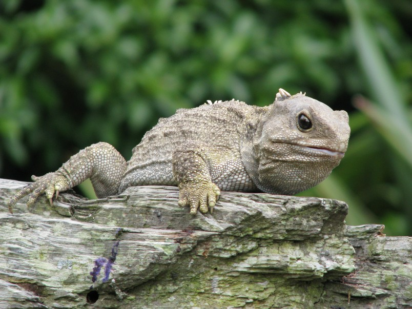 A tuatara sitting on a log