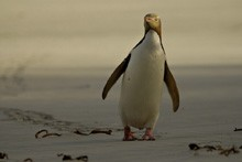 Yellow eyed penguin, Photo: Craig Mckenzie